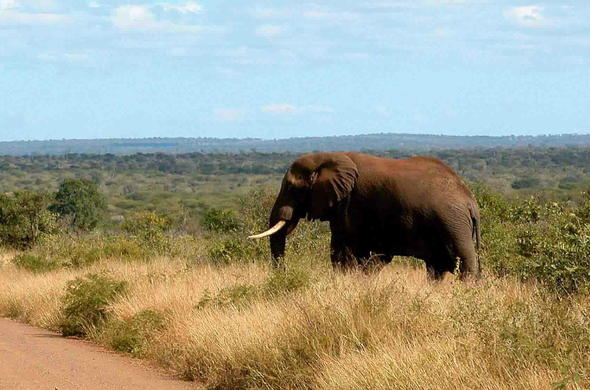 Elephant sighting on guided game drives.