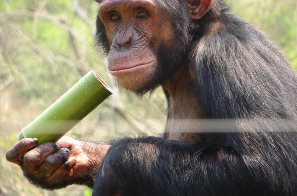A chimpanzee at the Jane Goodall Chimpanzee Centre.