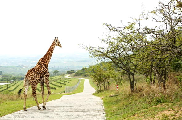 Giraffe are among the wildlife you could see during your stay at Likweti Lodge.