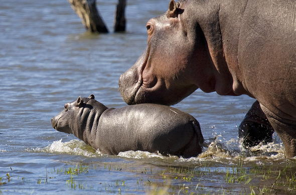 Adorable hippo and calf sighting.