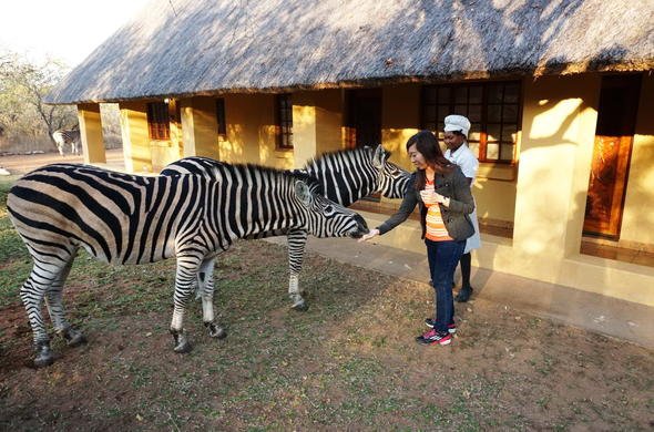 Guests feeding zebras at Royal Kruger Lodge.