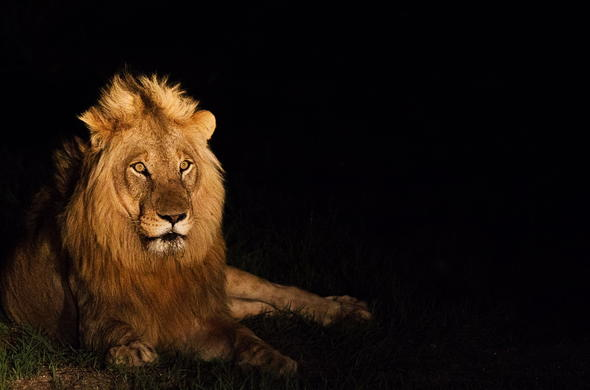 See lion on guided night game drives in Kruger National Park.