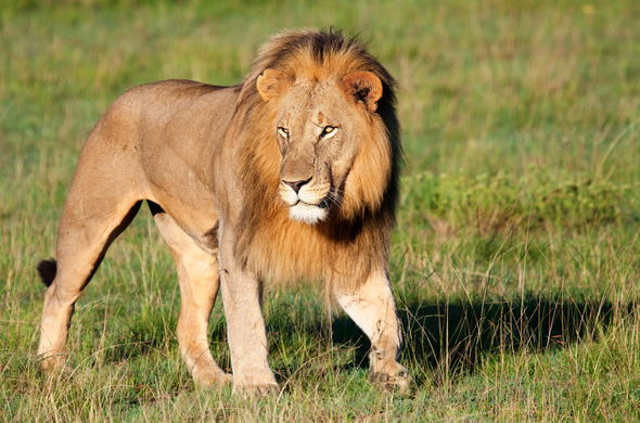 Lion are among the wildlife you could see while staying in Phalaborwa.